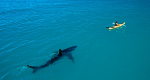 Shark following boat